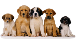 puppies classifieds
