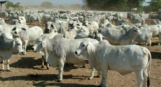 Livestock Cattle goats and Sheep for sale