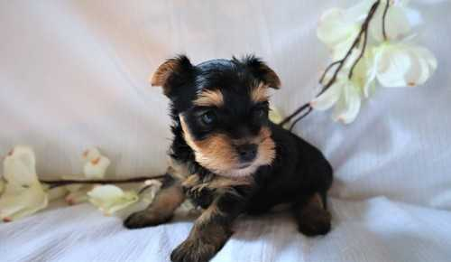 Perfect Babydoll Face Yorkshire Terrier