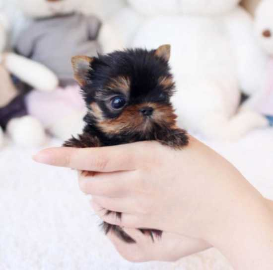 Young Yorkie Terrier Puppies for sale